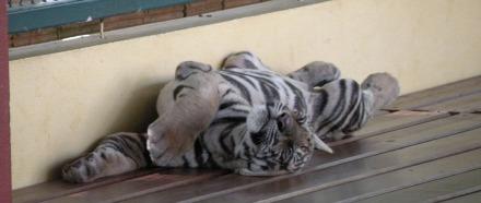 Cachorro de tigre descansado