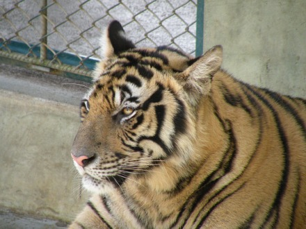 Tigre en Tiger Kingdom