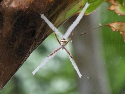La araña que marca con una cruz su telaraña