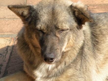 No hay templo sin perro. Este en elWat Chedi Luang