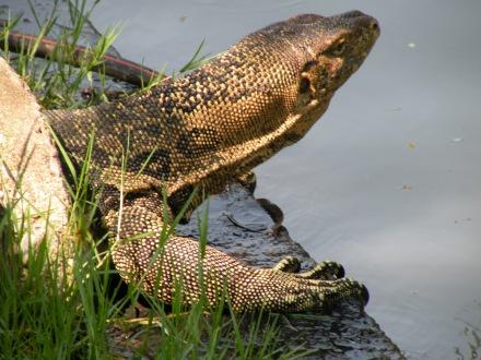A pesar del calor, con un poquito de paciencia pueden verse los lagartos