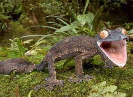 Geco gigante de Madagascar. Foto:http://www.calmadigital.info