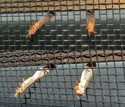 Hormigas atrapadas